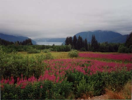 Loosestrife Near Juneau, Alaska Courtesy of Becky Shuon