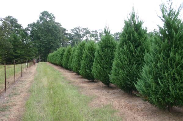 christmas_trees_9-2-7_015_op_599x397