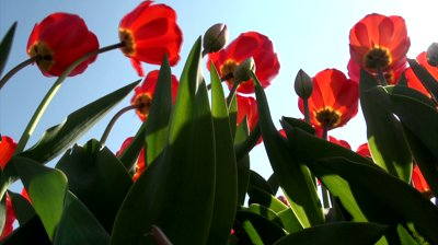 stock-footage-sun-shines-through-red-tulips