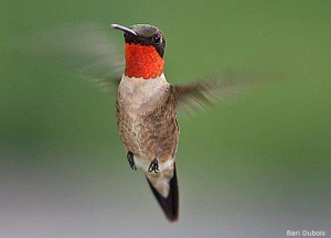 Ruby-throatedHummingbird_BariDuBois copy